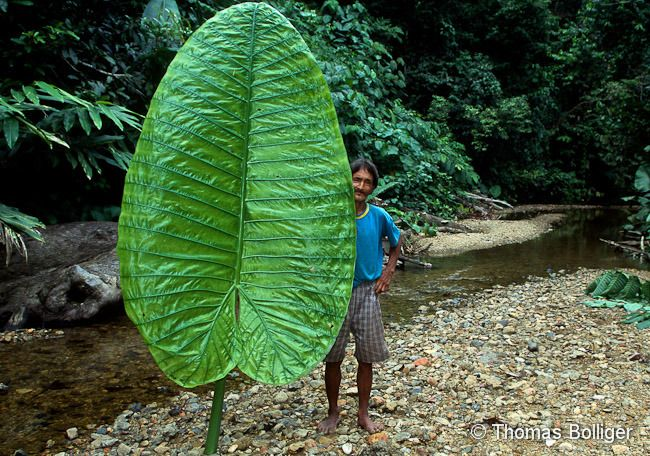 Why Do Tropical Plants Have Such Big Leaves Prof Andy Lowe
