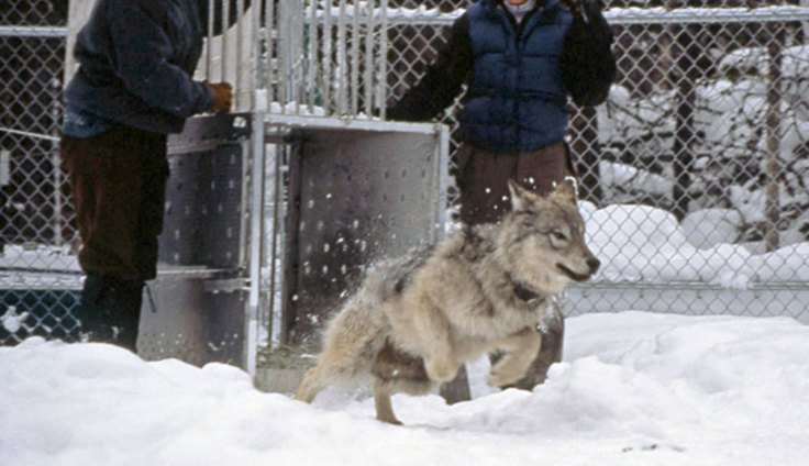 ys-wolf-releasing-sawtooth-pup_npsjimpeaco_680