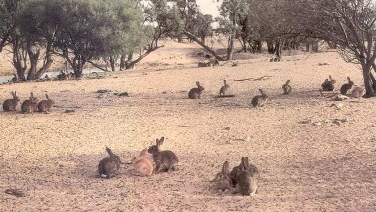 rabbits-western-nsw