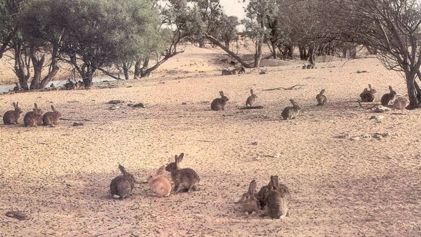 rabbits-western-nsw